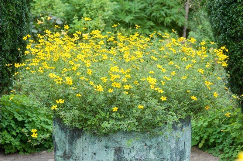Биденс уход и выращивание