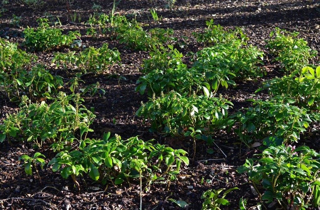 Пахизандра выращивание и уход фото 71