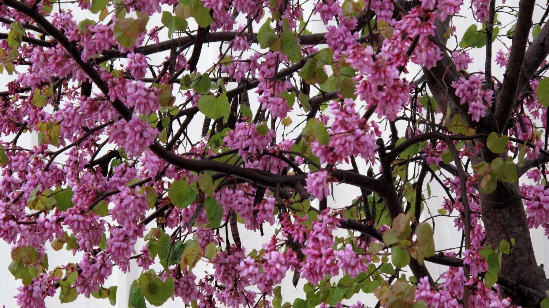 Церцис дерево посадка и уход