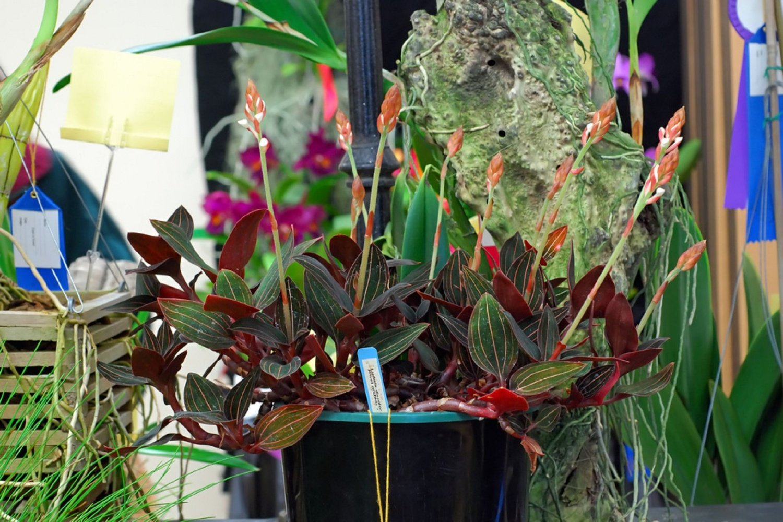 Орхидея лудизия уход 80