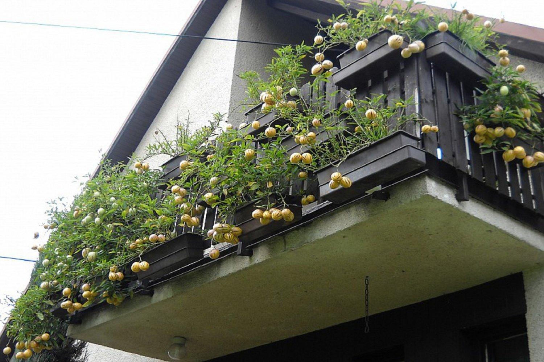 Пепино: особенности выращивания и cвойства.