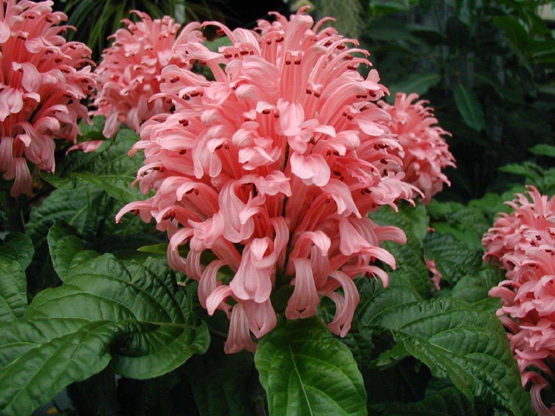 Якобиния Поля или розовая