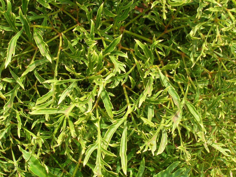 Полисциас кустарниковый (фрутикоза)