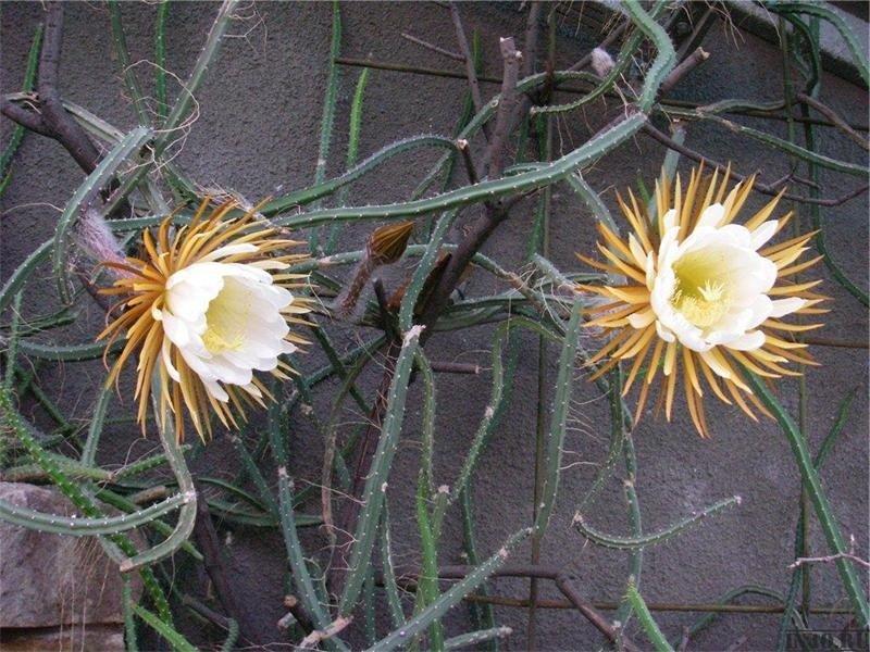 селеницереус крупноцветковый или грандифлорус