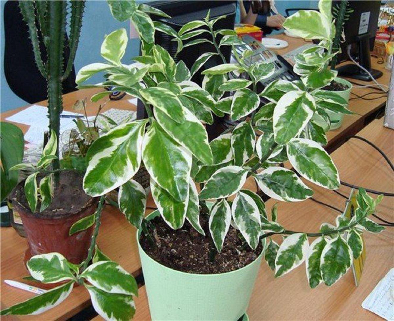 занятий нужно фото комнатного цветка с бело зелеными листьями всему жизни