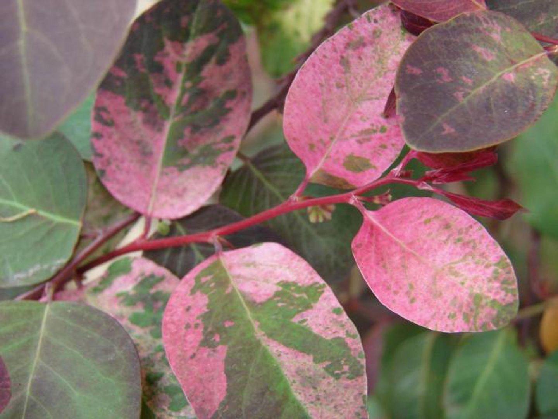 Цветы комнатные разноцветные листья фото