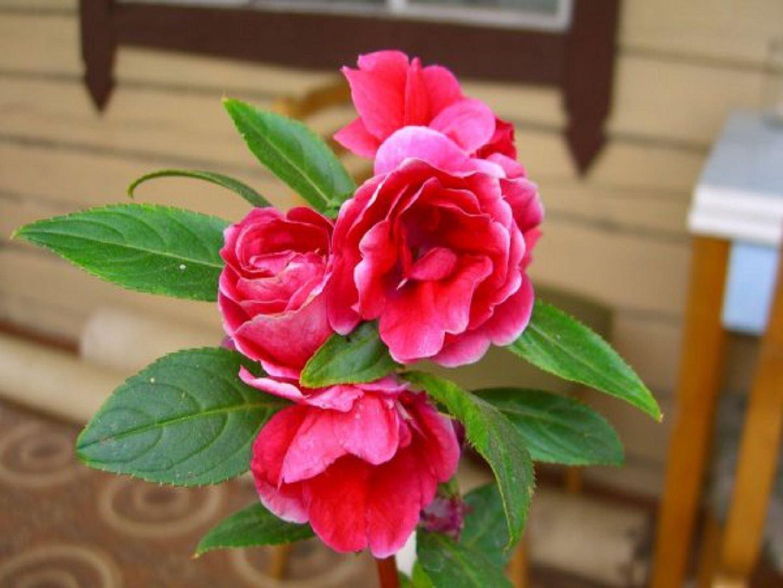 Бальзамин камелия: выращивание из семян, посадка и уход 97