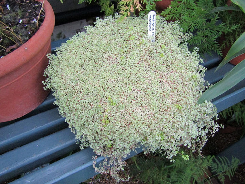 Гелксина variegate