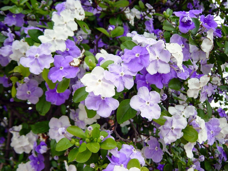 Брунфельсия малоцветковая