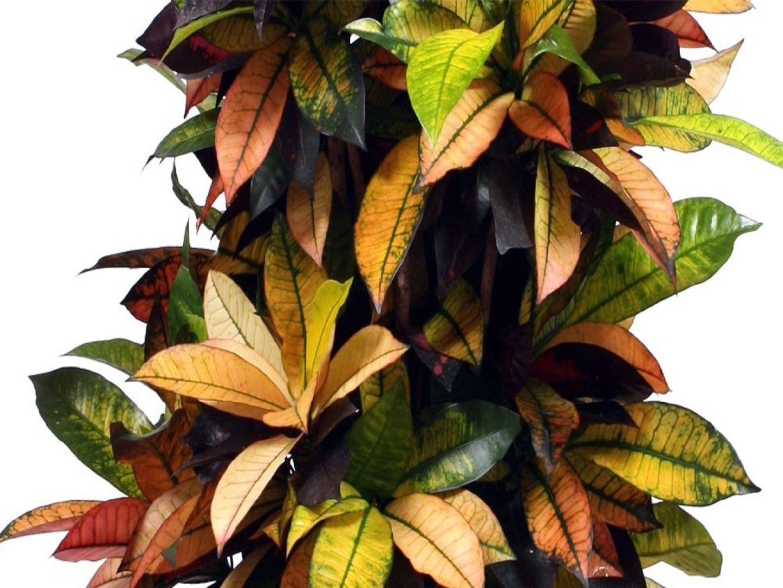 Кротон родина растения