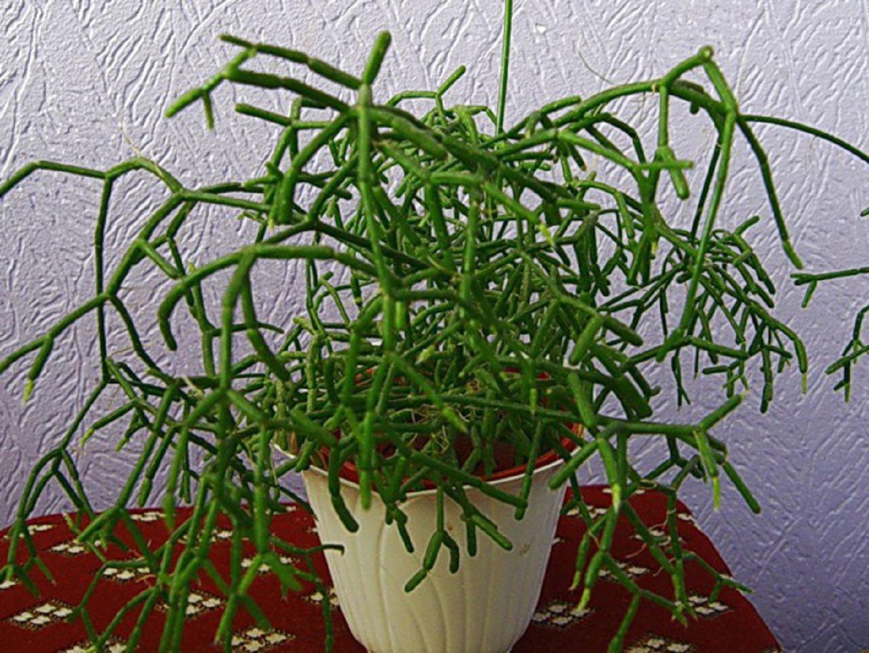Фото комнатного цветка рипсалис 28