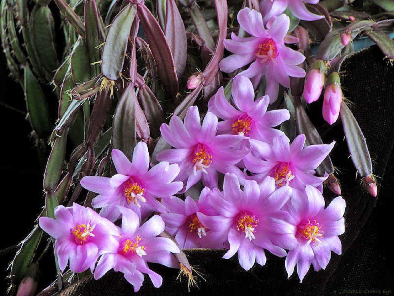 Фото цветов из семейства кактусовых с названиями