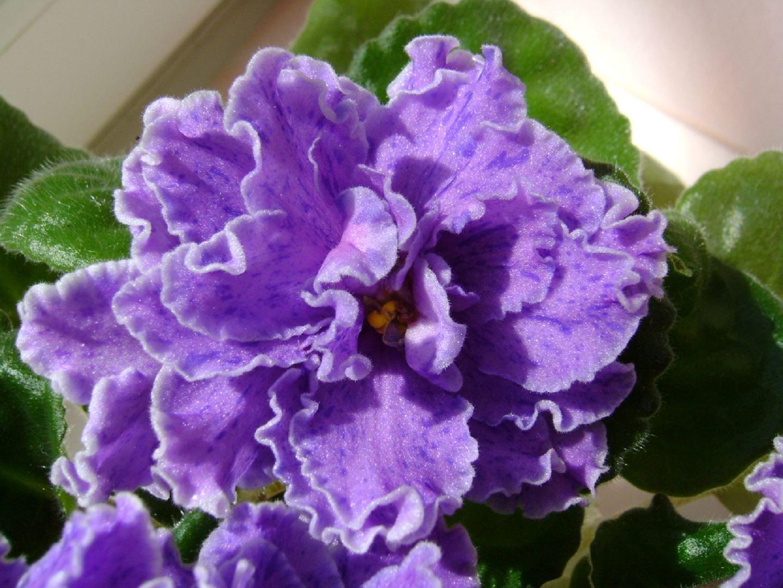 Сенполия выращивание и фото