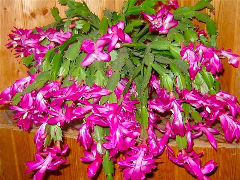 Декабрист цветок уход и размножение в домашних условиях 44