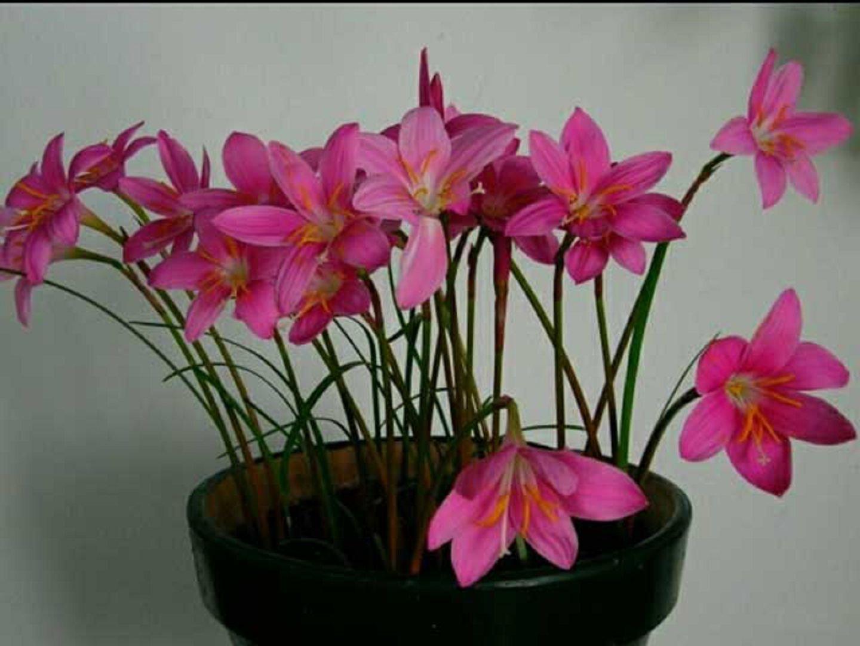 Выскочка цветок фото уход в домашних