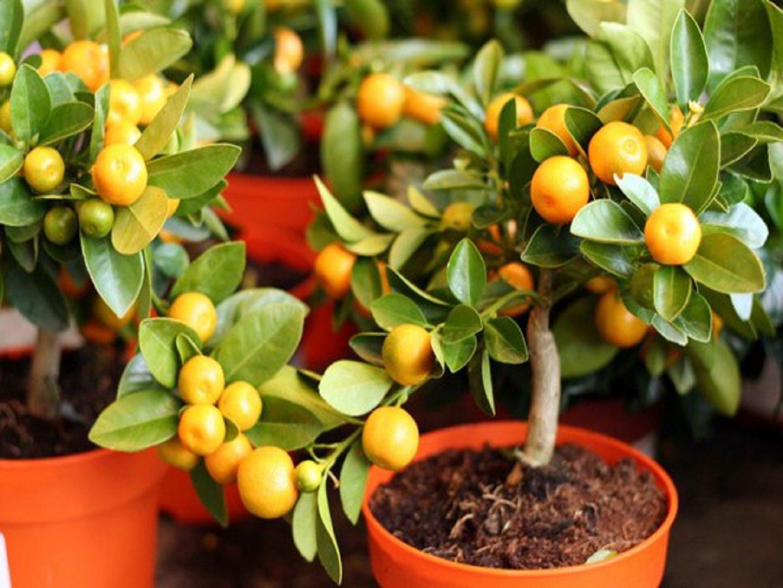 Клементин выращивание в домашних условиях 9