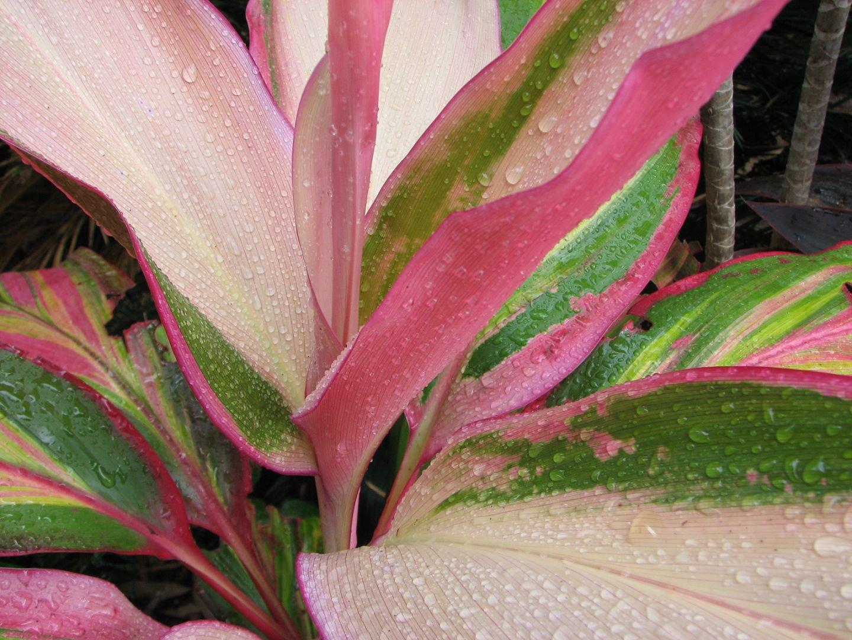 Домашние цветы кордилина фото