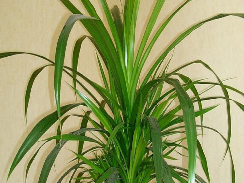 рожденья фото и названия пальмовых домашних растений районный