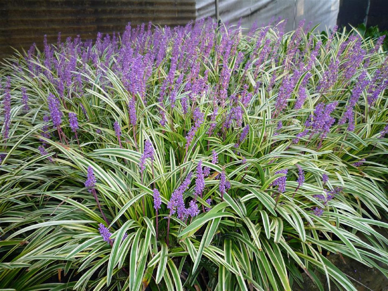 Foto di piante erbacee 91