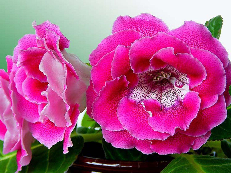 Цветок глоксиния - Комнатные цветы и растения, уход за ними в 92
