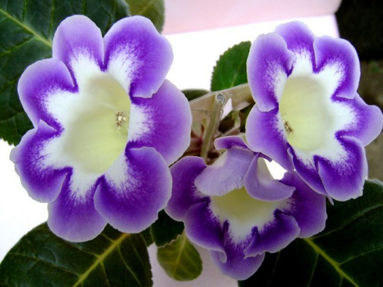 Цветок глоксиния - Комнатные цветы и растения, уход за ними в 96