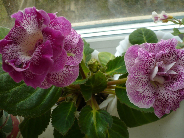 Глоксиния: уход в домашних условиях Комнатный цветок 29