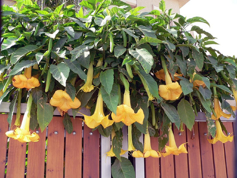 Датура выращивание из семян в домашних условиях фото