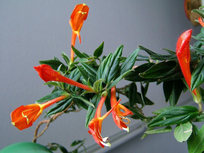 Цветок колумнея-фото
