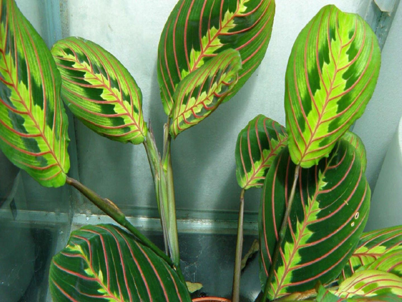 Комнатные цветы с названием и фото маранта