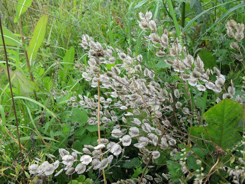 Ярутка полевая — описание, полезные свойства, применение