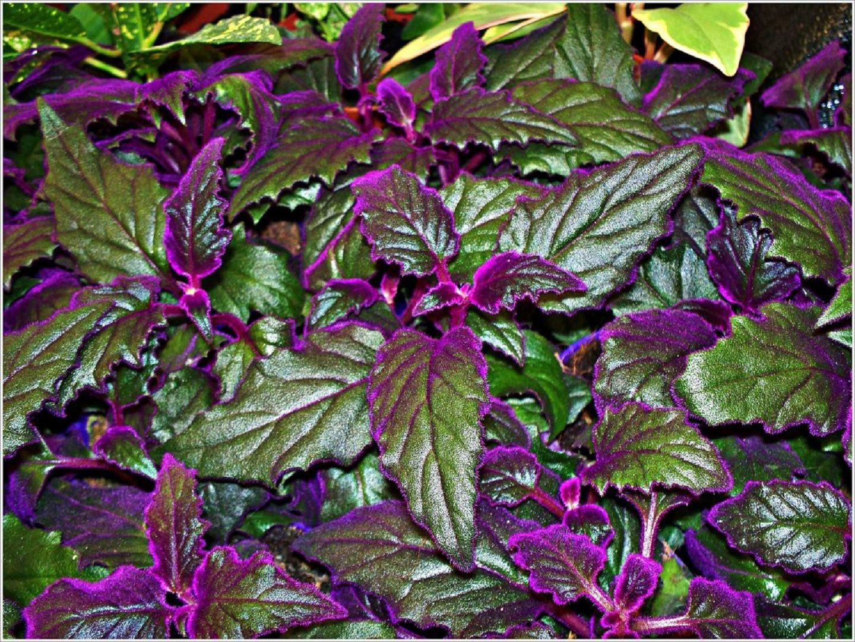 Цветы с сиреневыми листьями фото и названия