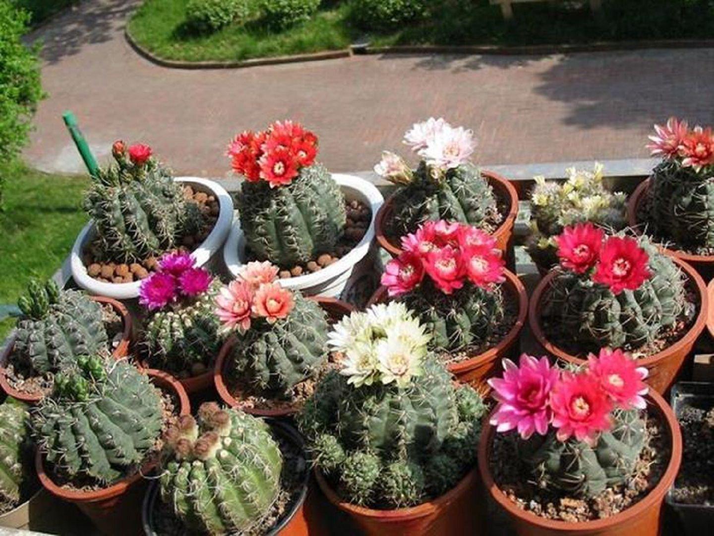 цветы гимнокалициум