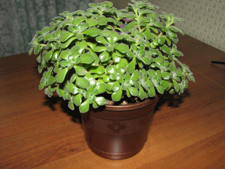 Цветок похож на денежное дерево листики маленькие фото