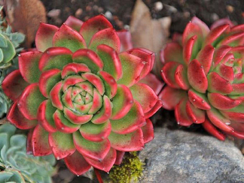 Цветок каменная роза (63 фото приметы и суеверия, в ландшафтном) 57