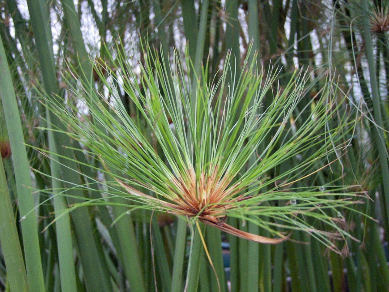 Циперус: 51 фото ухода и поддержания условий для растения 67