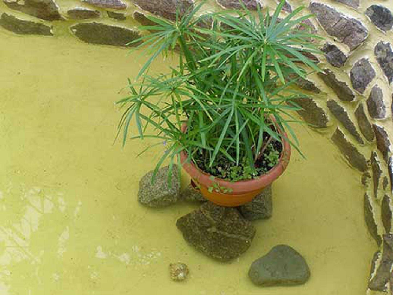Циперус: 51 фото ухода и поддержания условий для растения 40