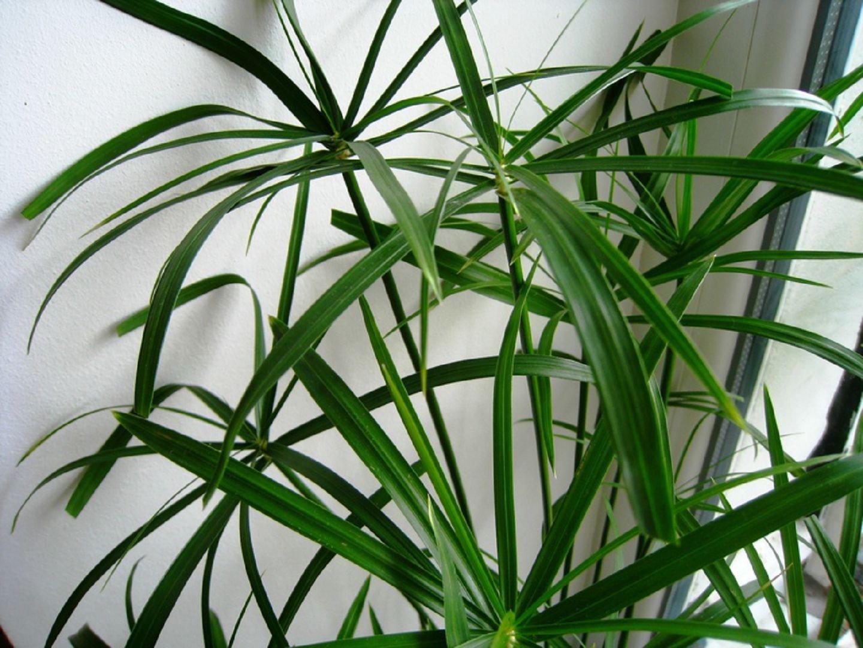 Циперус: 51 фото ухода и поддержания условий для растения 17