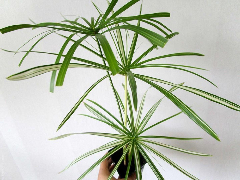 Циперус: 51 фото ухода и поддержания условий для растения 83
