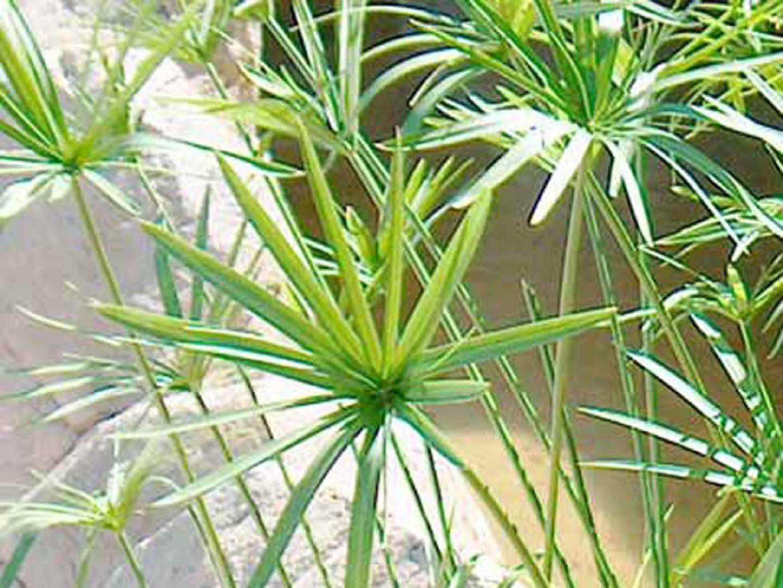 Циперус: 51 фото ухода и поддержания условий для растения 66