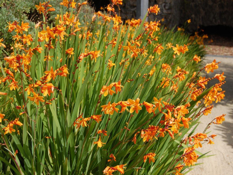 Луковичные осенние цветы фото