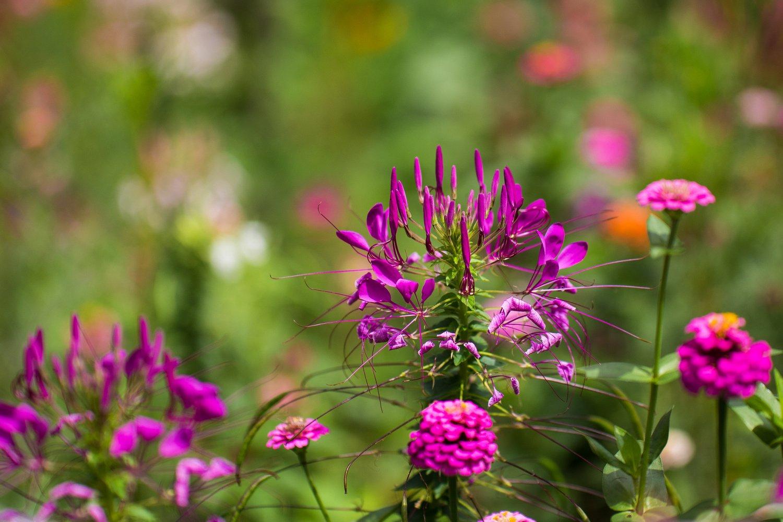 Клеома колючая фото цветы
