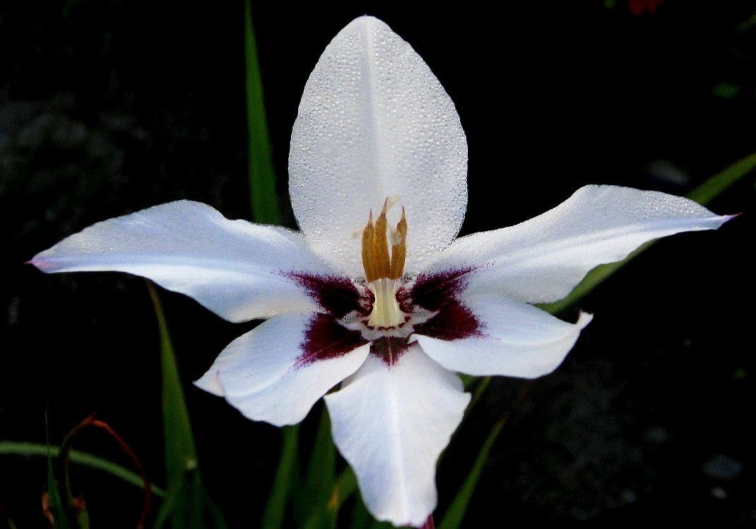 Acidanthera