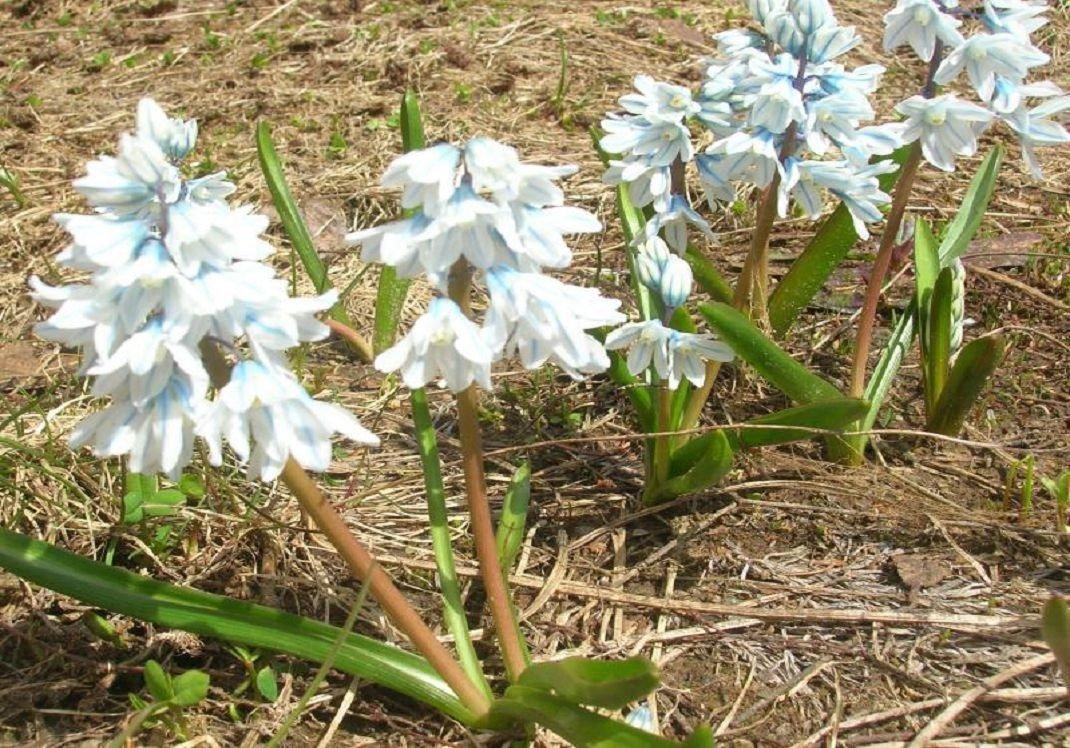Пушкиния посадка и уход выращивание из семян