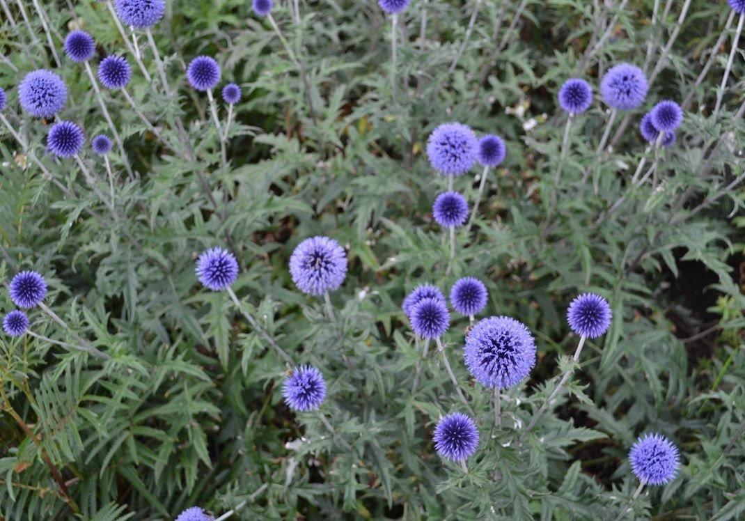 Цветы мордовник