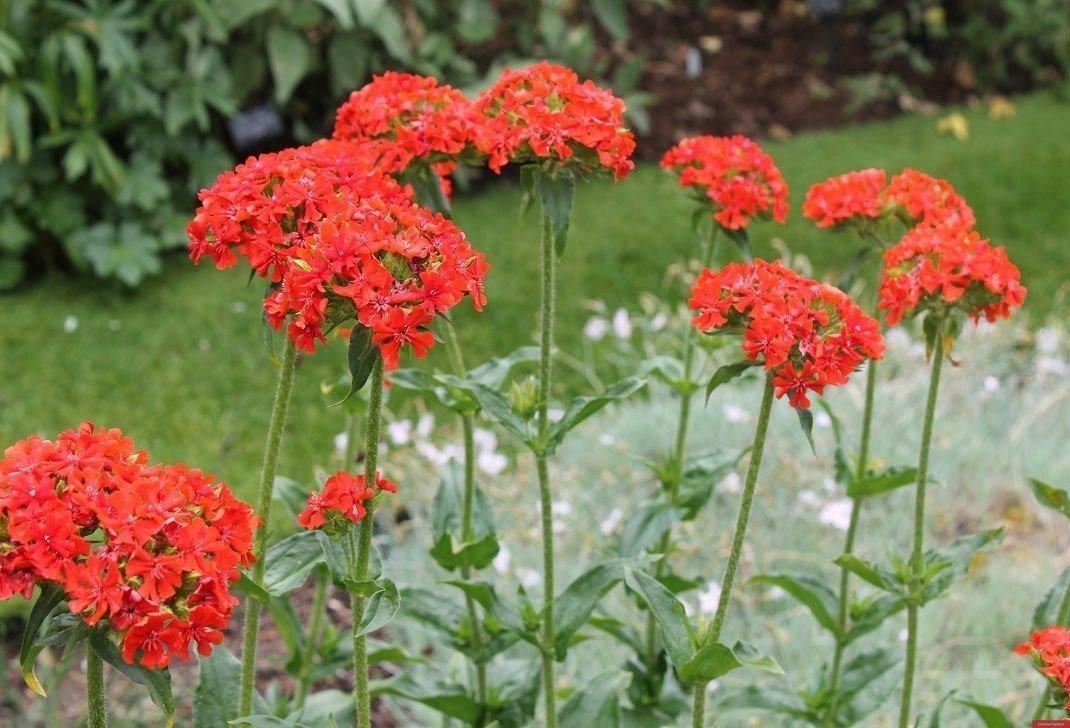 лихнис цветок многолетник
