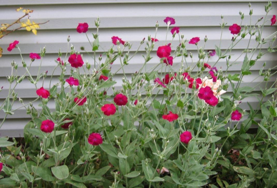 Выращивание из семян лихниса 48
