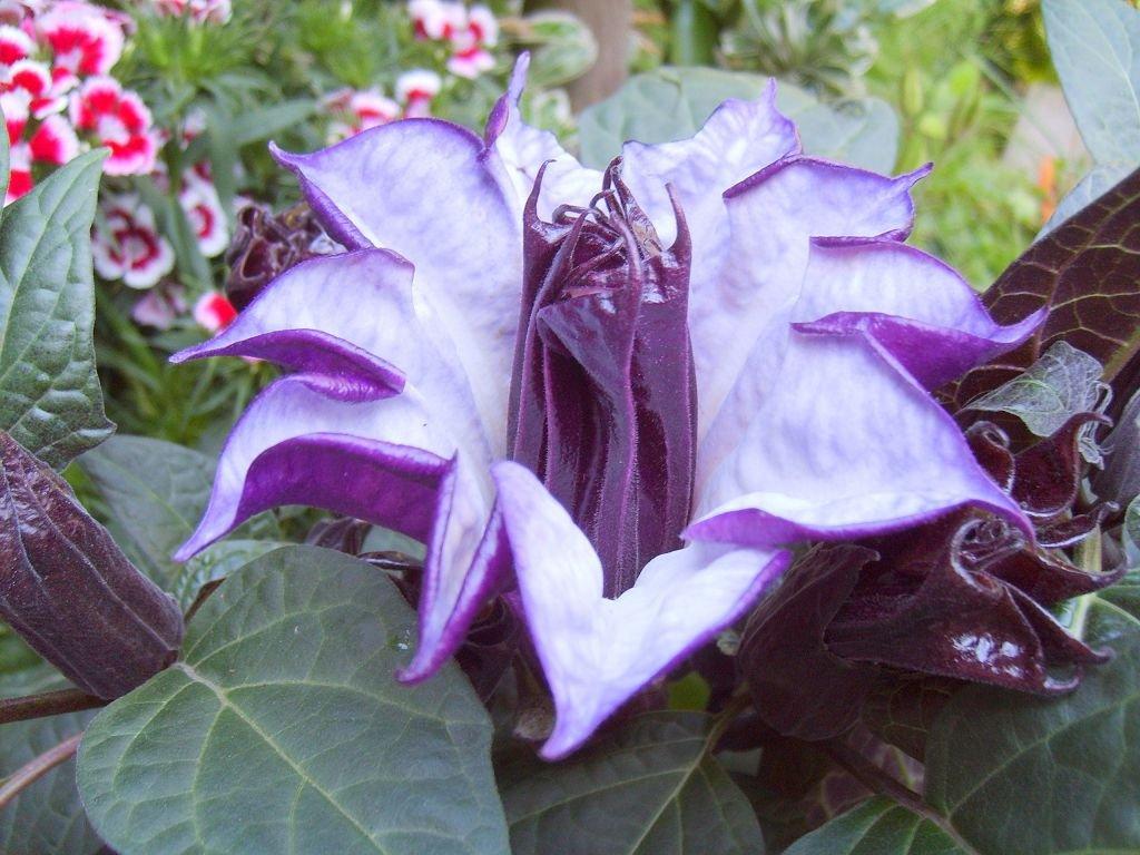 Цветок дурман фото
