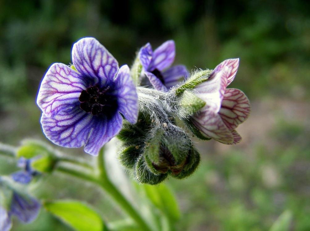 решили вспомнить растение чернокорень фото просят заранее