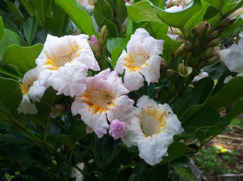 Цветок радермахера: уход в домашних условиях, фото