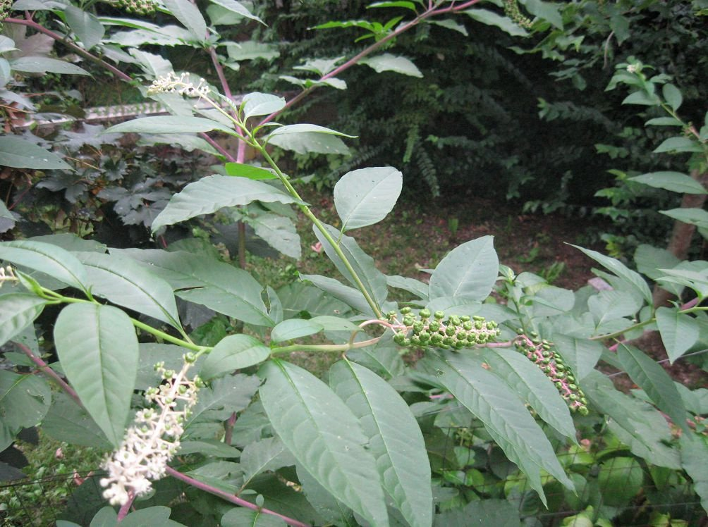 Лаконос (Фитолакка) — полезные свойства ядовитого растения ✔